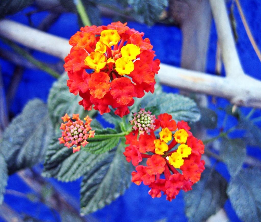 Flowers Santa Carolina Monastery, Arequipa