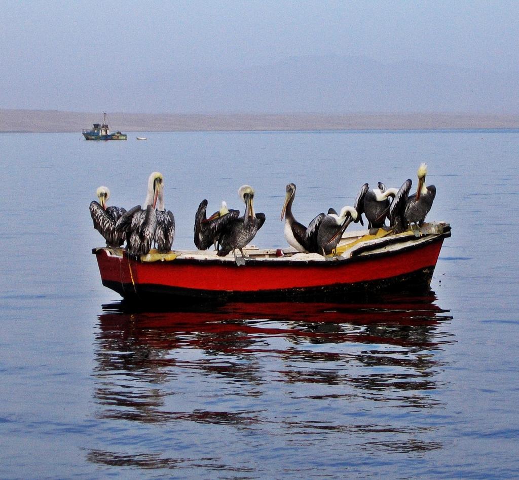 Pelicans, Islas Ballestas