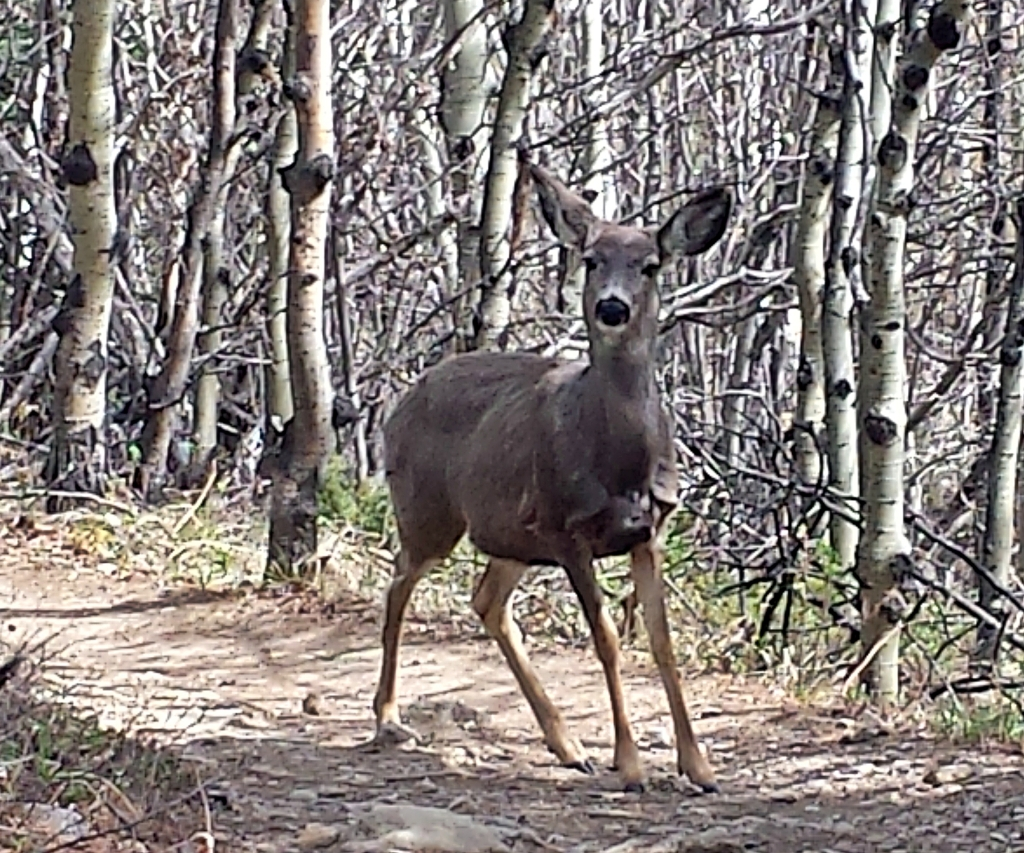 White-tailed deer, Yamnuska Circuit Trek