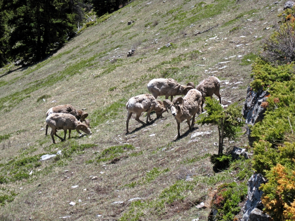 Rocky Mountain Sheep, Lady McDonald