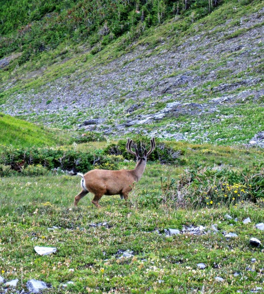 Deer near the Windtower trail