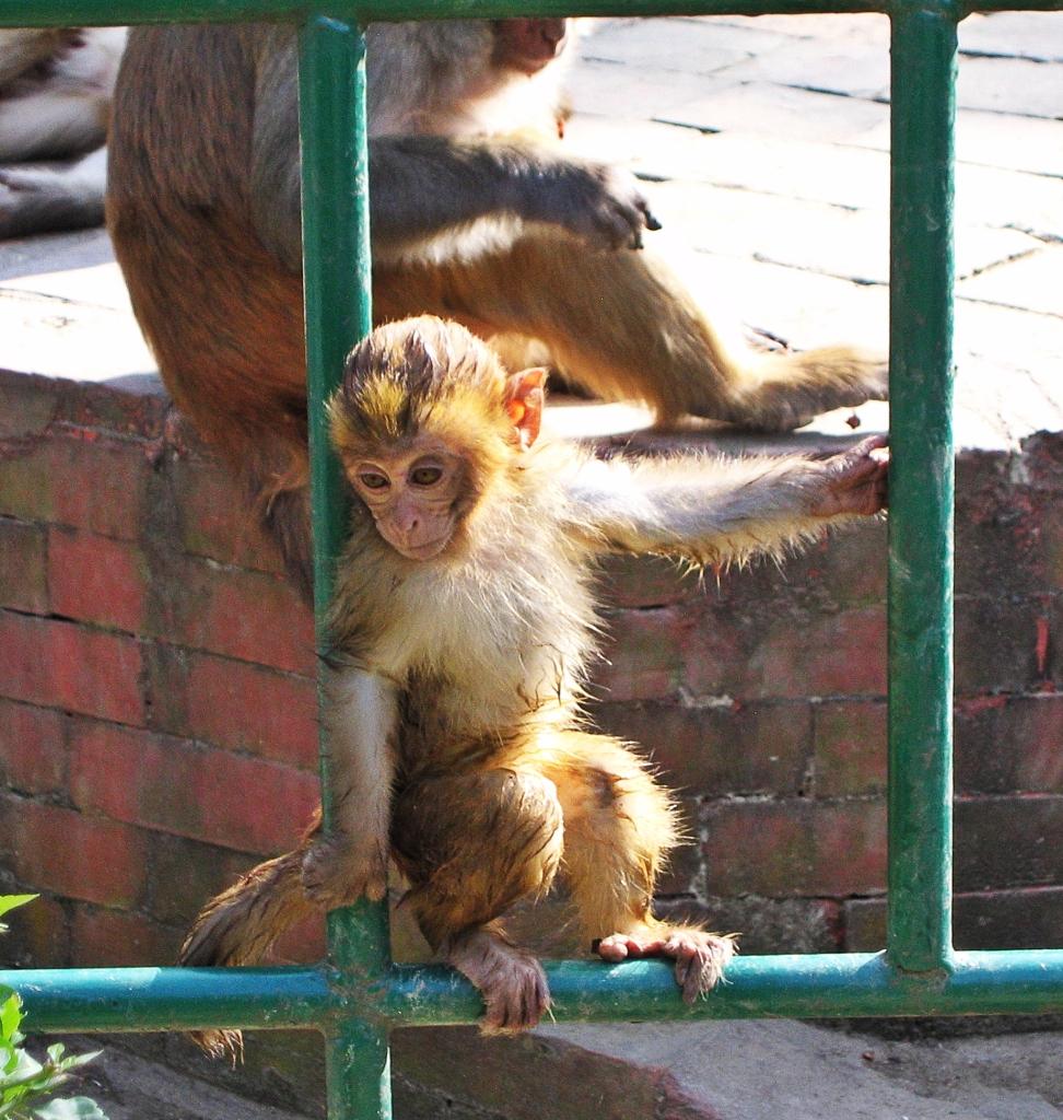 Macaque, Monkey Temple, Kathmandu