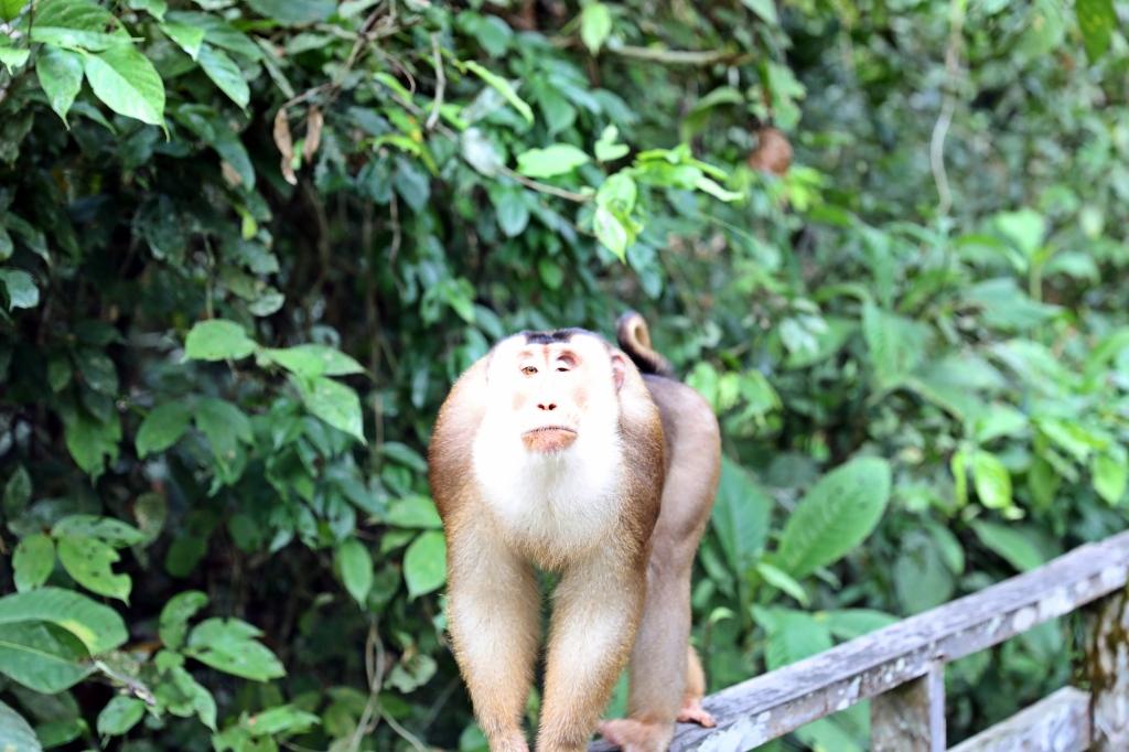 Baboon, Orangutan Rehabilitation Centre, Borneo