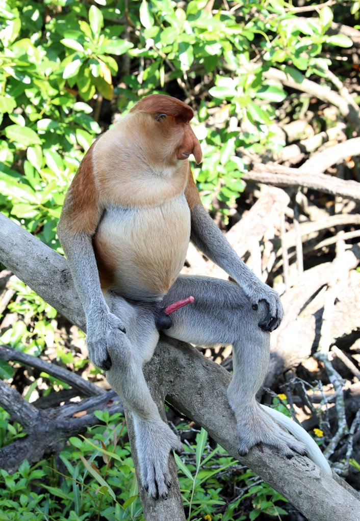 Proboscis, Labuk Bay Proboscis Monkey Sanctuary