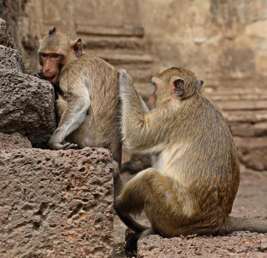 Macaques, Lopburi, Thailand