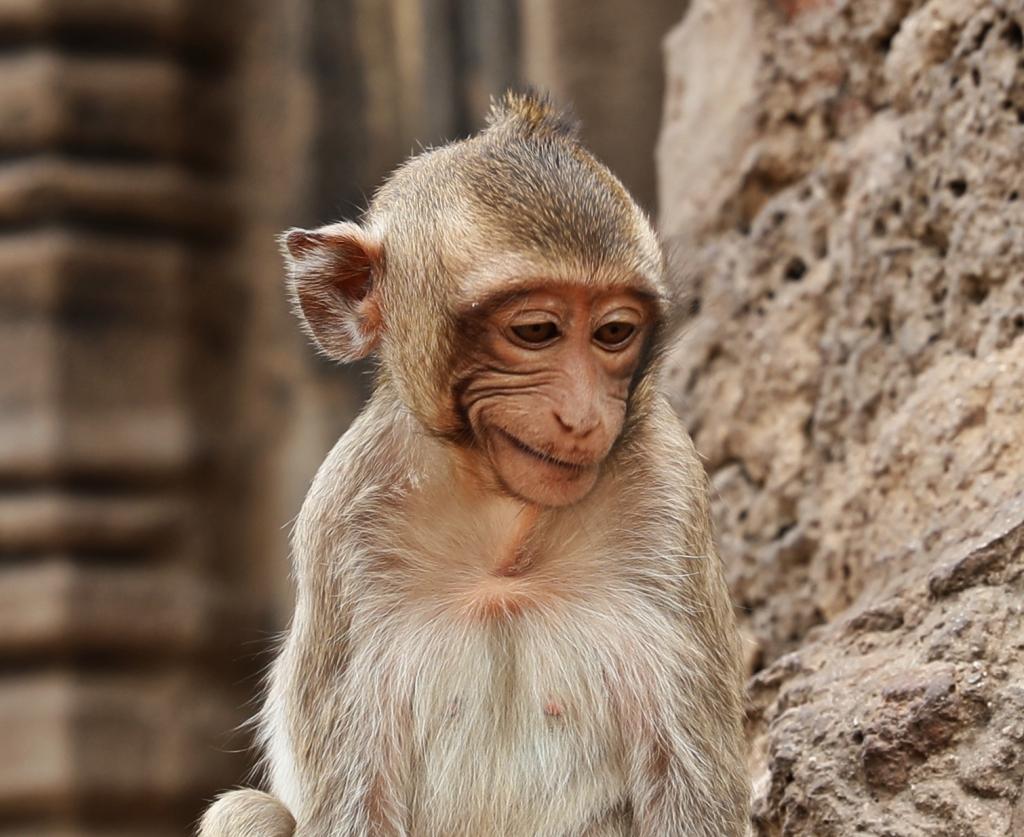 Macaque, Lopburi, Thailand
