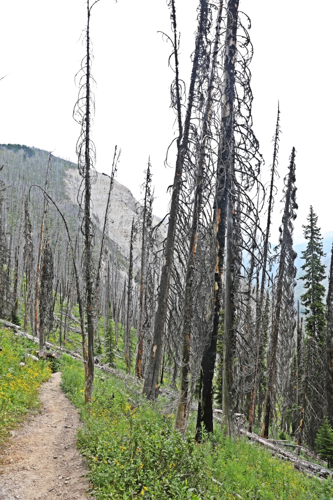 Regrowth from 2013 fire, Kootenay National Park