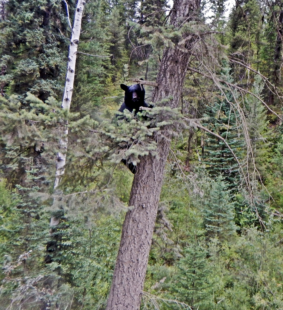 Black bear climbing a tree, Bugaboos Rd