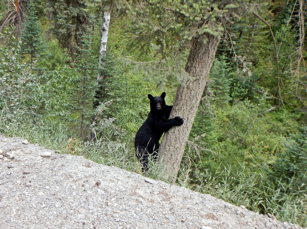 Black bear, Bugaboos Rd