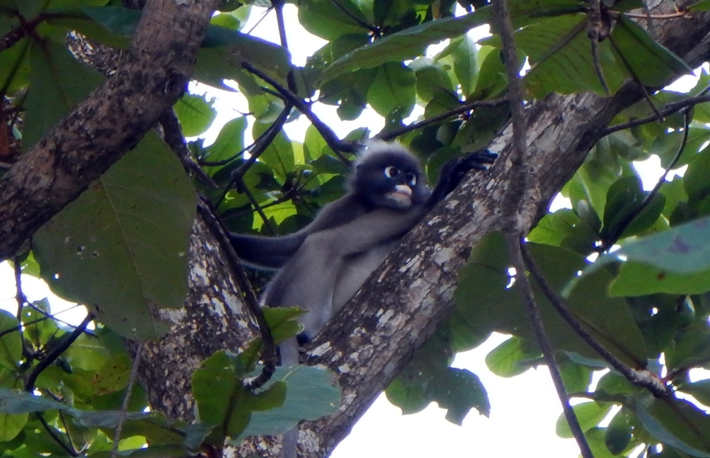 Spectacled Langur, Railay, Thailand