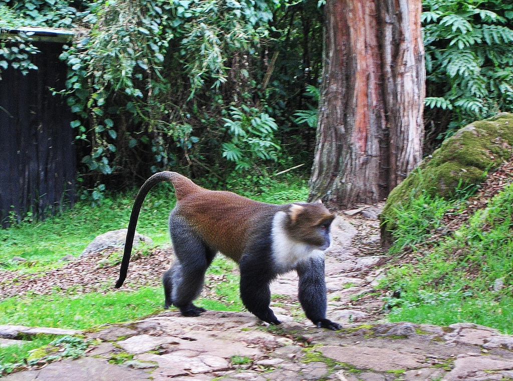 Sykes' monkey, Met Station, Mount Kenya
