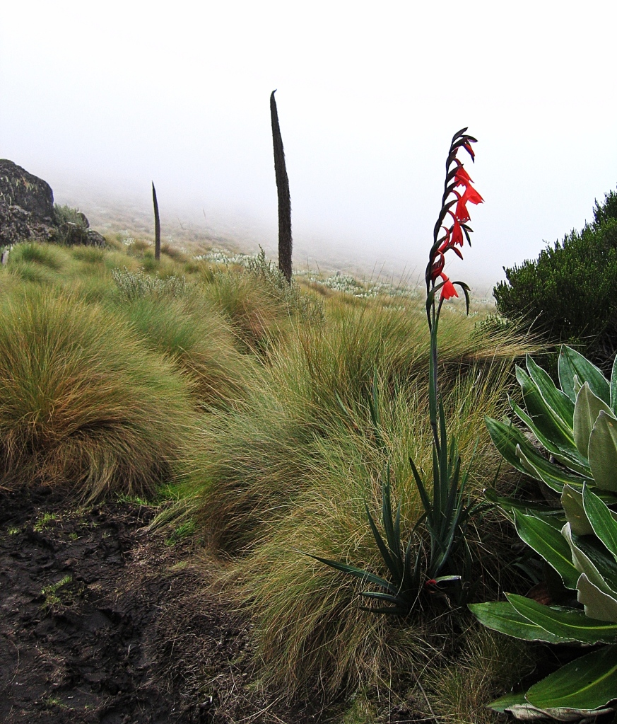 Mackinder's Gladiolus, Mount Kenya