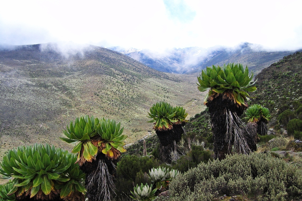 Giant groundsels above Teleki Valley, Mount Kenya
