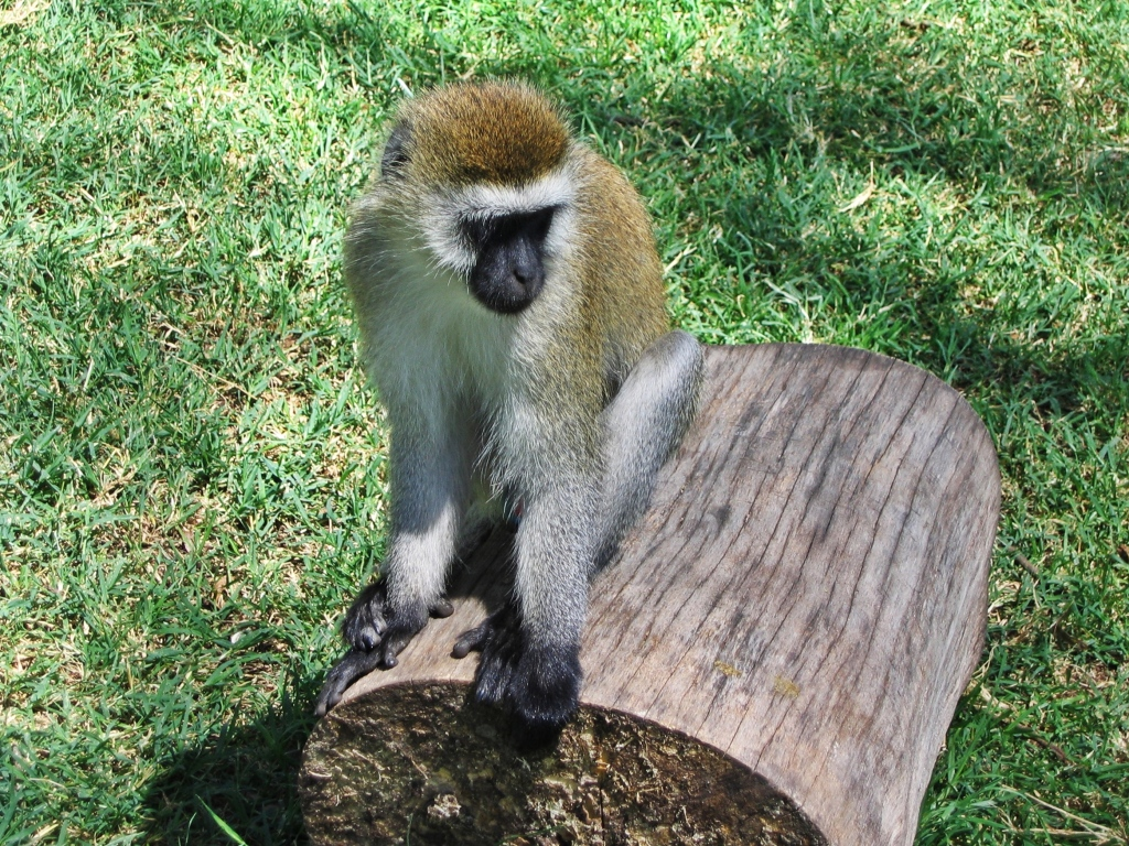 Vervet monkey, Lake Nakuru