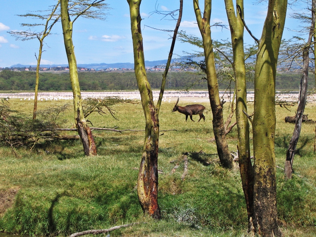 Topi, Lake Nakuru