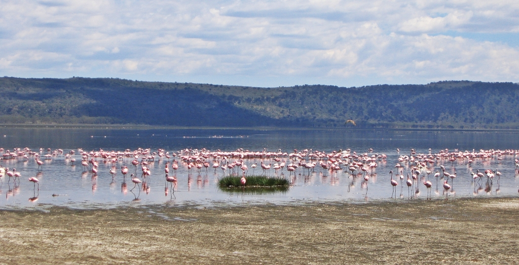 Flamingos, Lake Nakuru