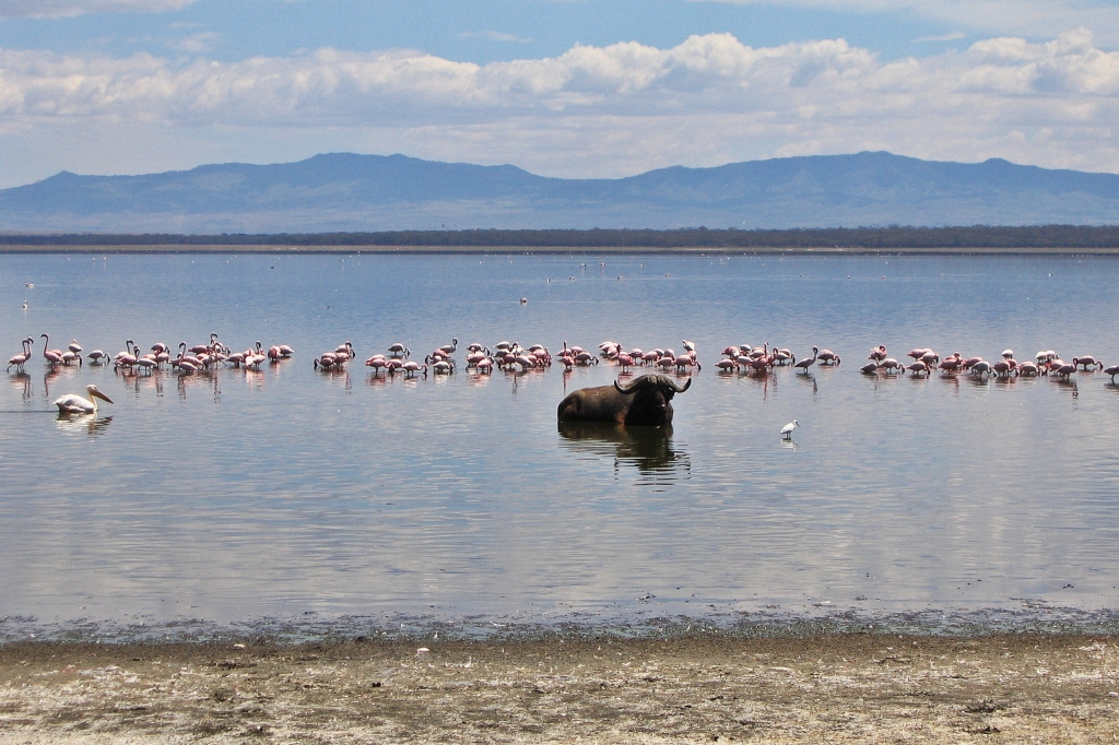Flamingos and buffalo, Lake Nakuru