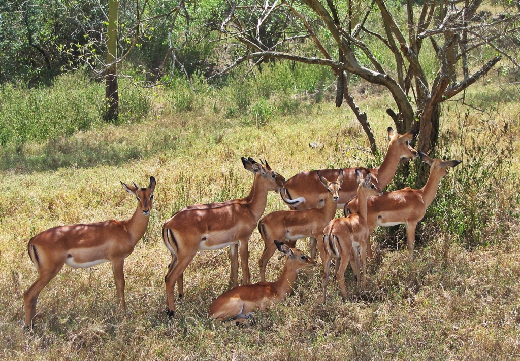Gazelles, Lake Nakuru