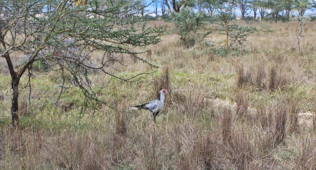 Secretary bird, Maasai Mara National Reserve