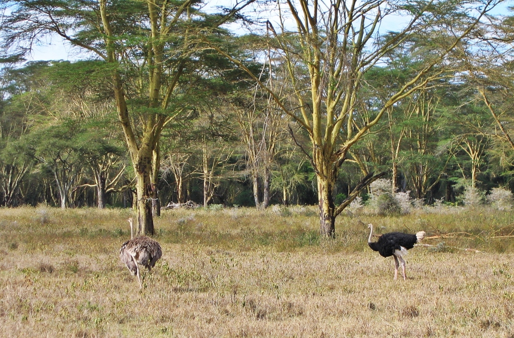 Ostriches, Masai Mara National Reserve