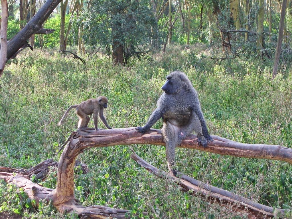 Baboons, Masai Mara National Reserve
