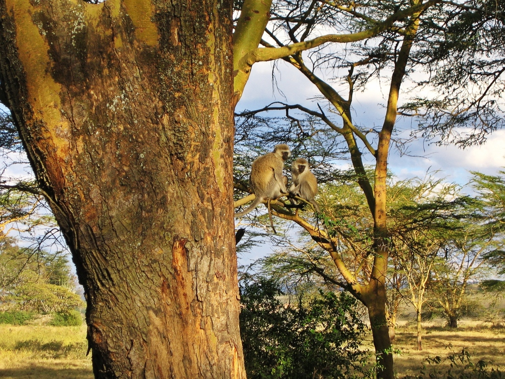 Vervet monkeys, Maasai Mara National Reserve