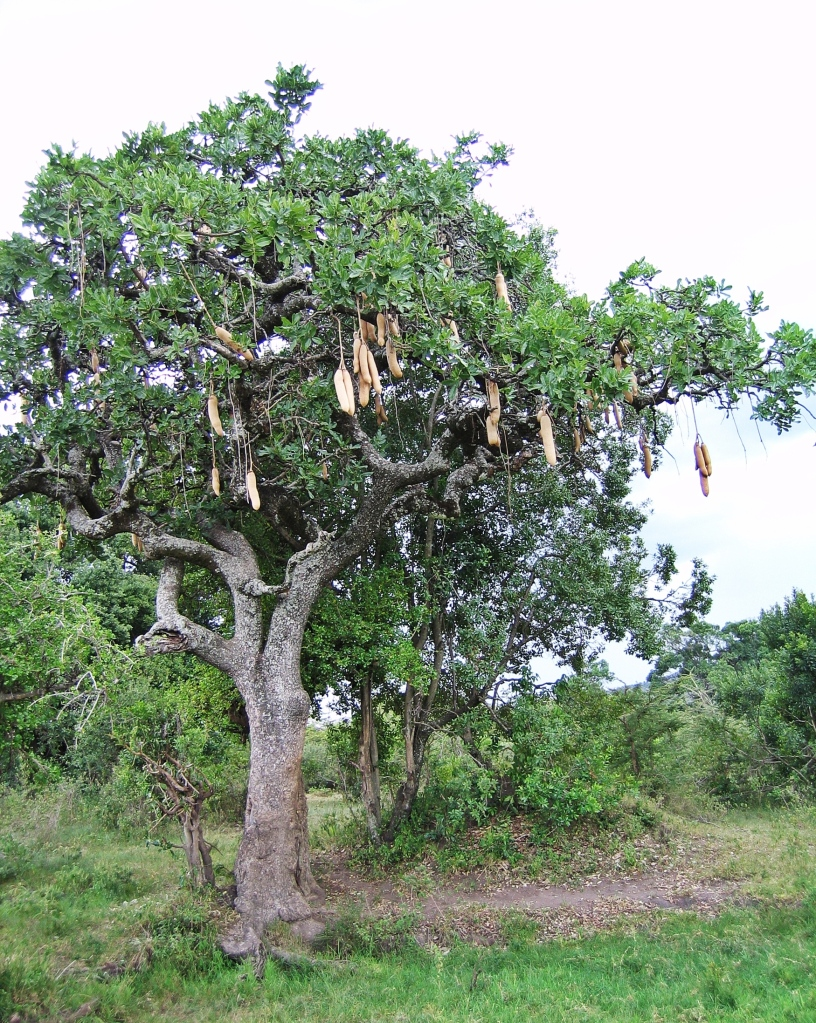 Sausage tree, Maasai Mara National Reserve