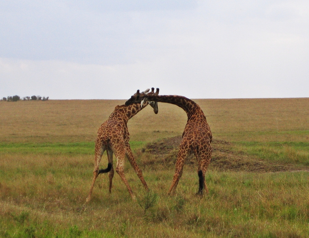 Giraffe fight, Maasai Mara National Reserve