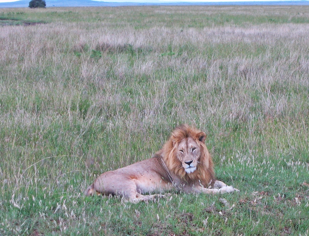 Lion, Maasai Mara National Reserve