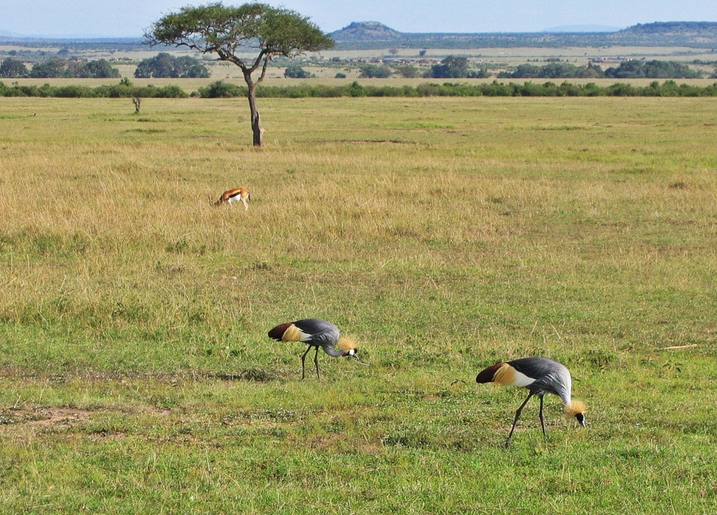African crowned cranes, Masai Mara National Reserve