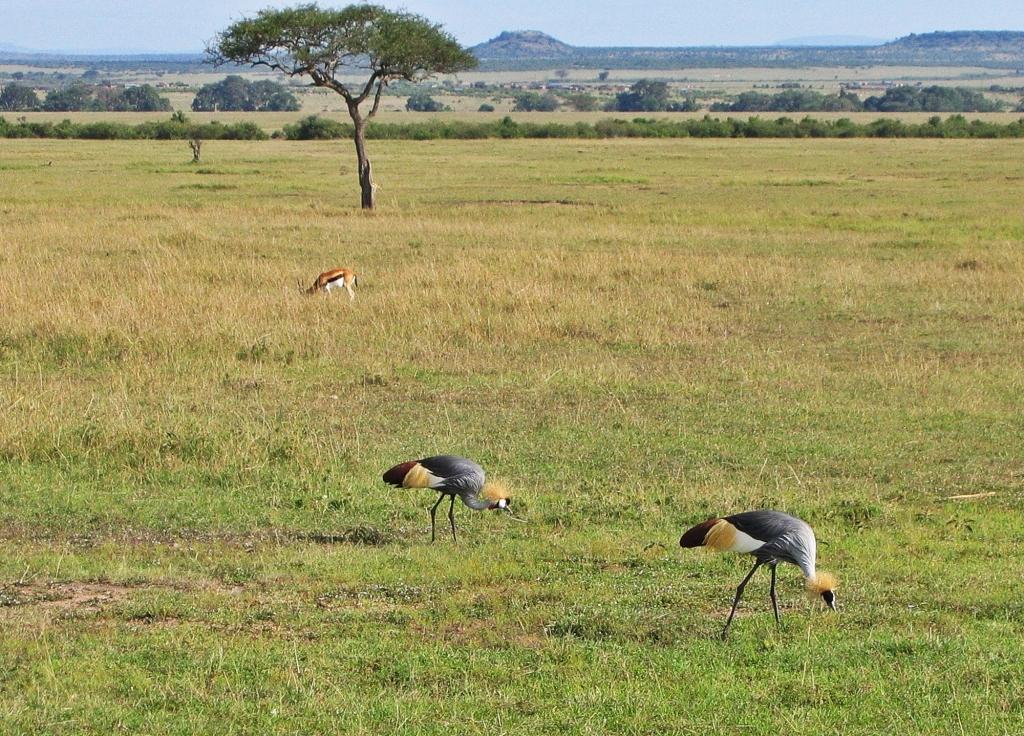 African crowned cranes, Maasai Mara National Reserve