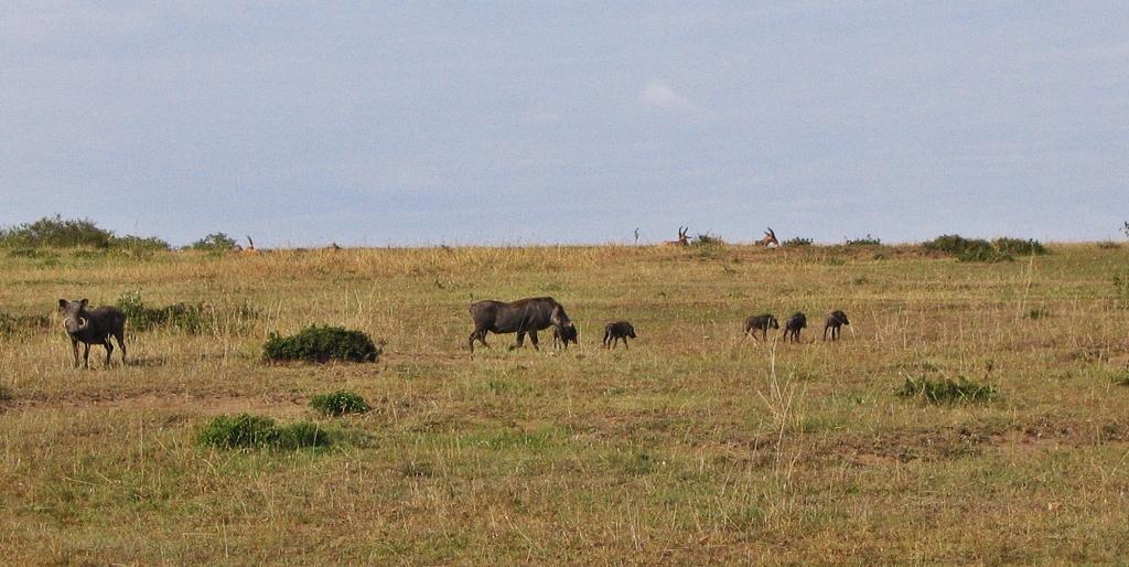 Warthogs, Masai Mara National Reserve