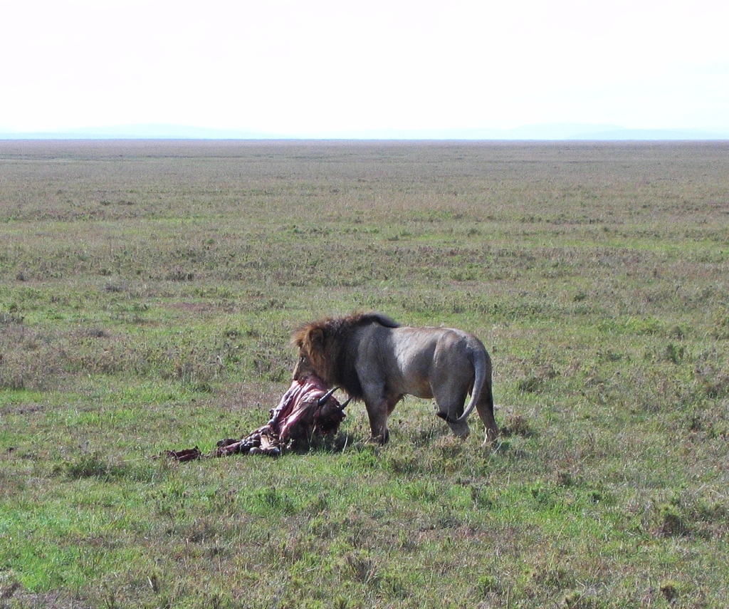 Lion with a kill, Maasai Mara National Reserve