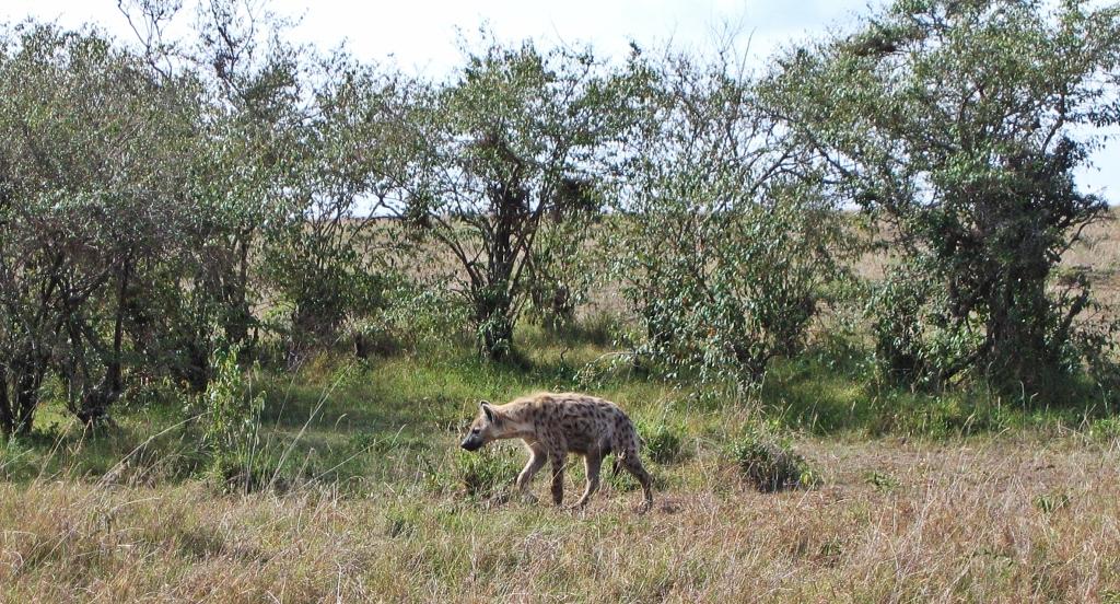 Hyena, Masai Mara National Reserve