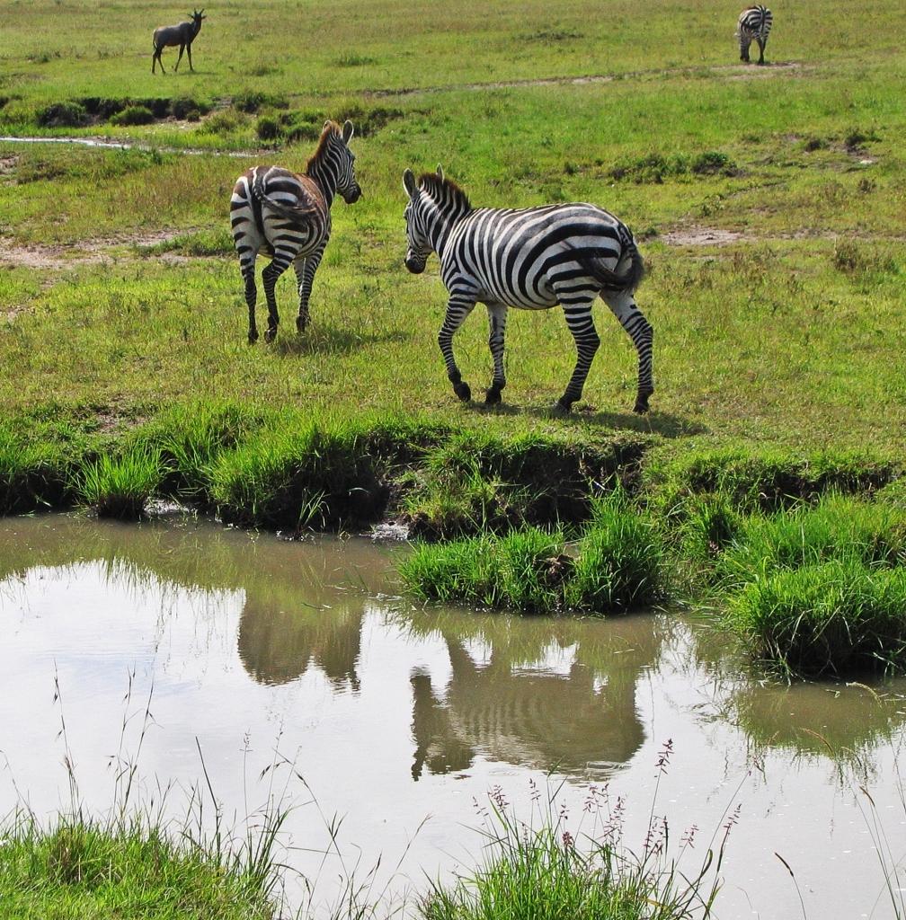 Zebras, Masai Mara National Reserve