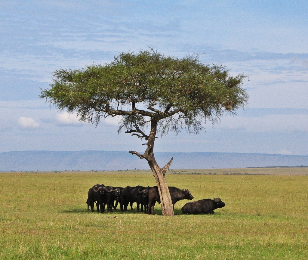 Buffalos, Maasai Mara National Reserve