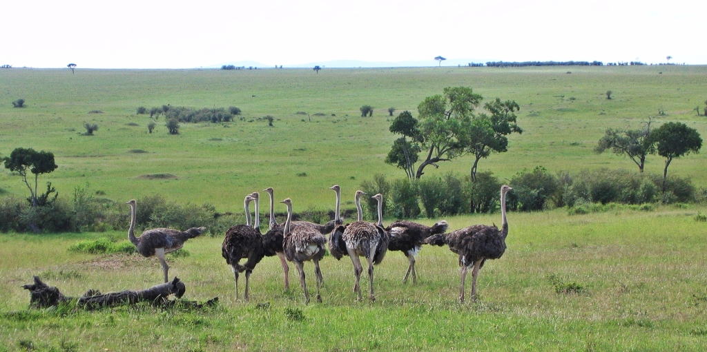 Ostriches, Maasai Mara National Reserve