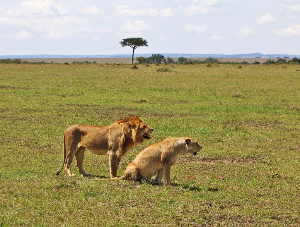 Lions, Masai Mara National Reserve