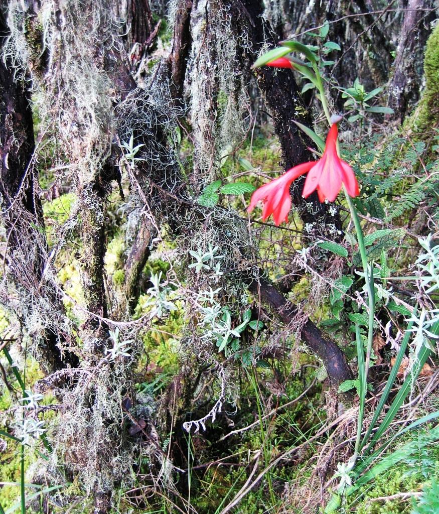 Mountain gladiolus, Mount Kilimanjaro