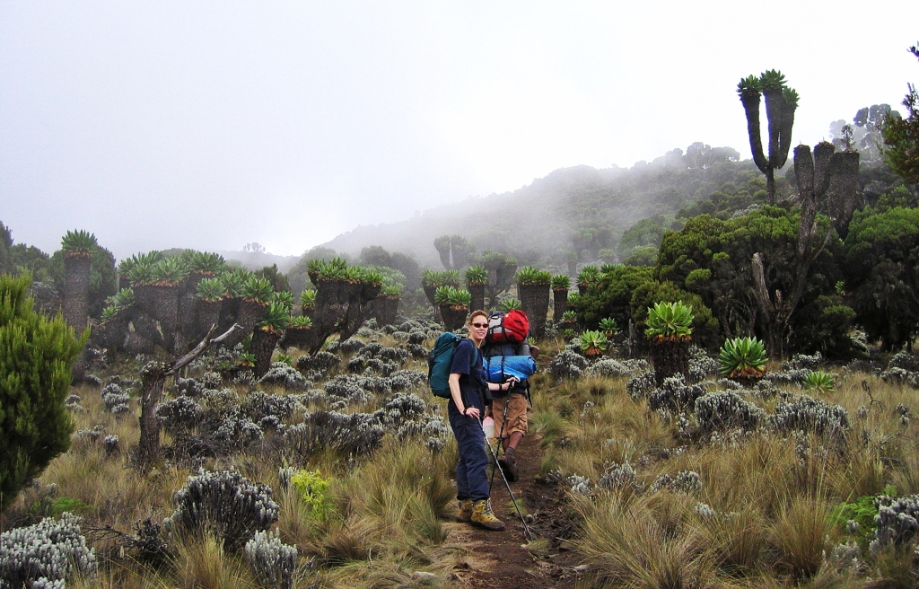 Walking between the giant groundsels, Mount Kilimanjaro