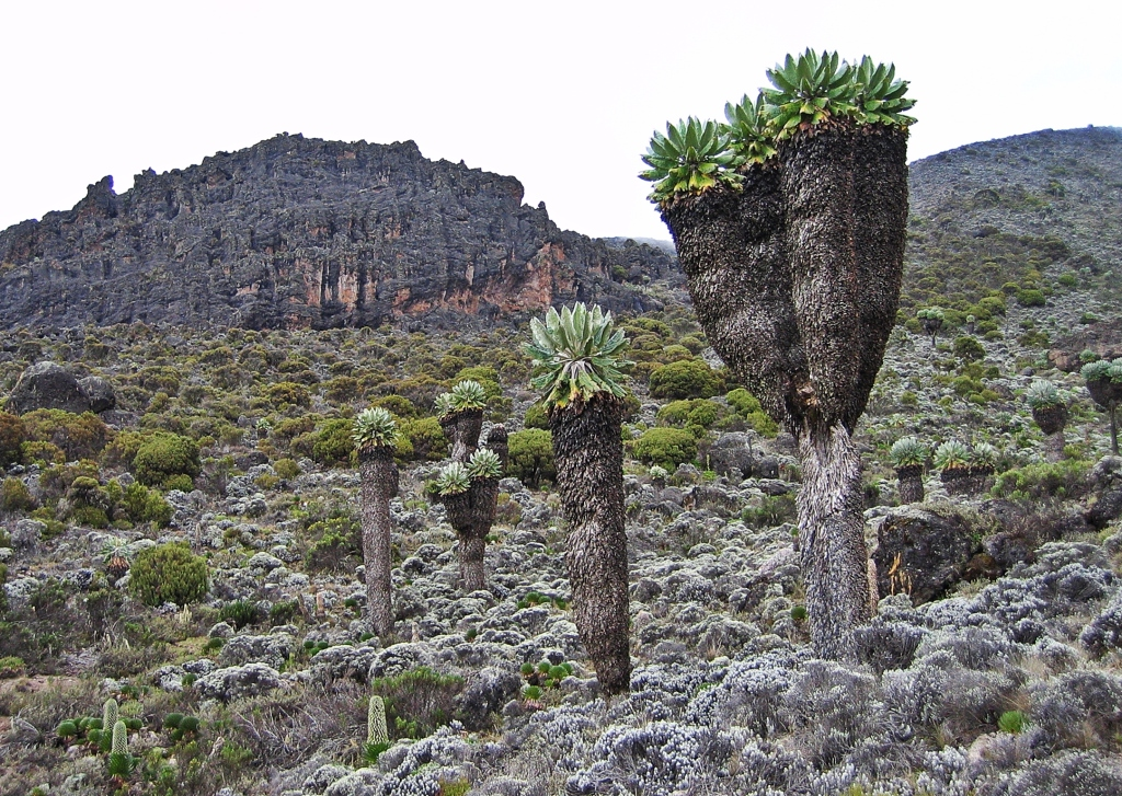 Giant groundsels, Mount Kilimanjaro