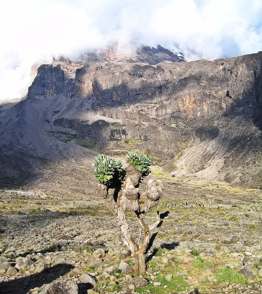Giant groundsel, Mount Kilimanjaro