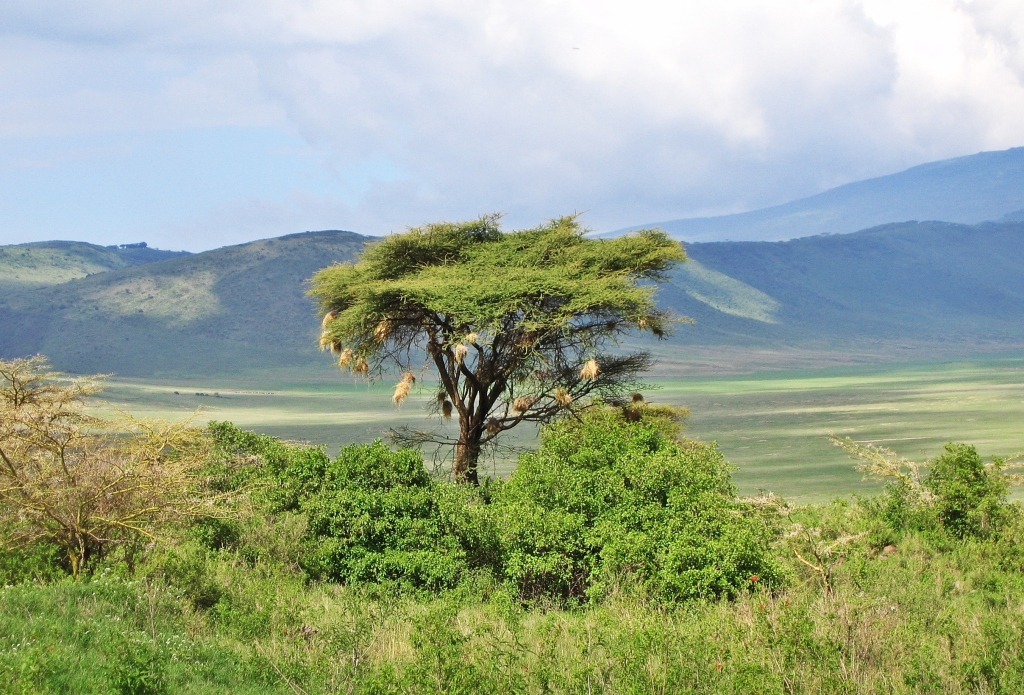 Weave nests, Ngorongoro Crater