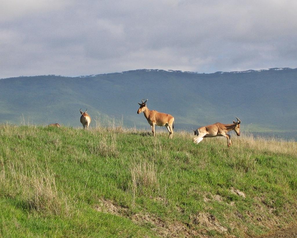 Topi, Ngorongoro Crater