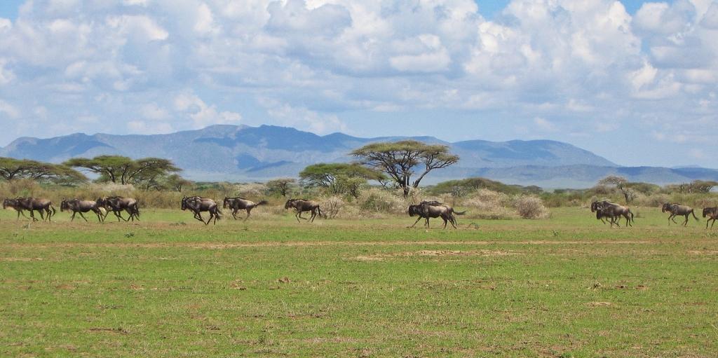 Wildebeests, Serengeti National Park