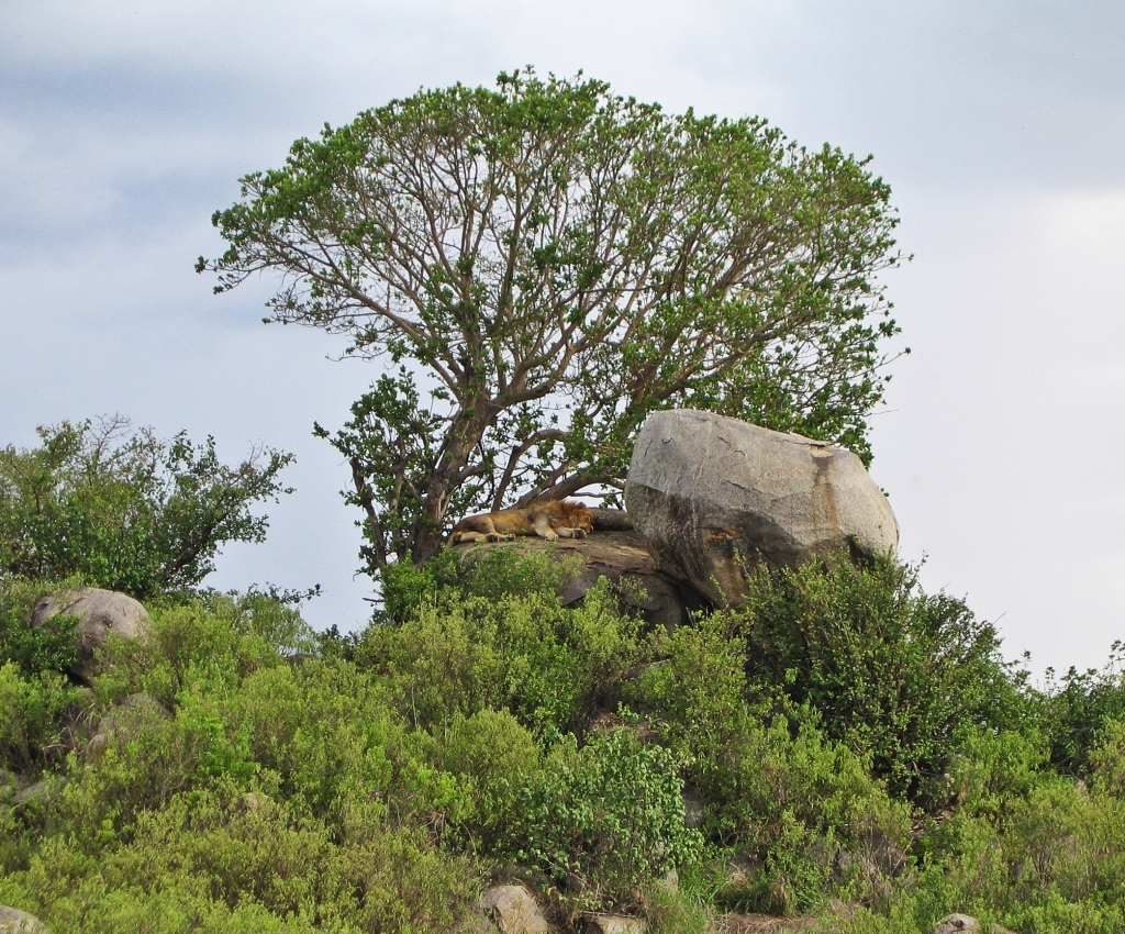 Lion on the kopjes, Serengeti National Park