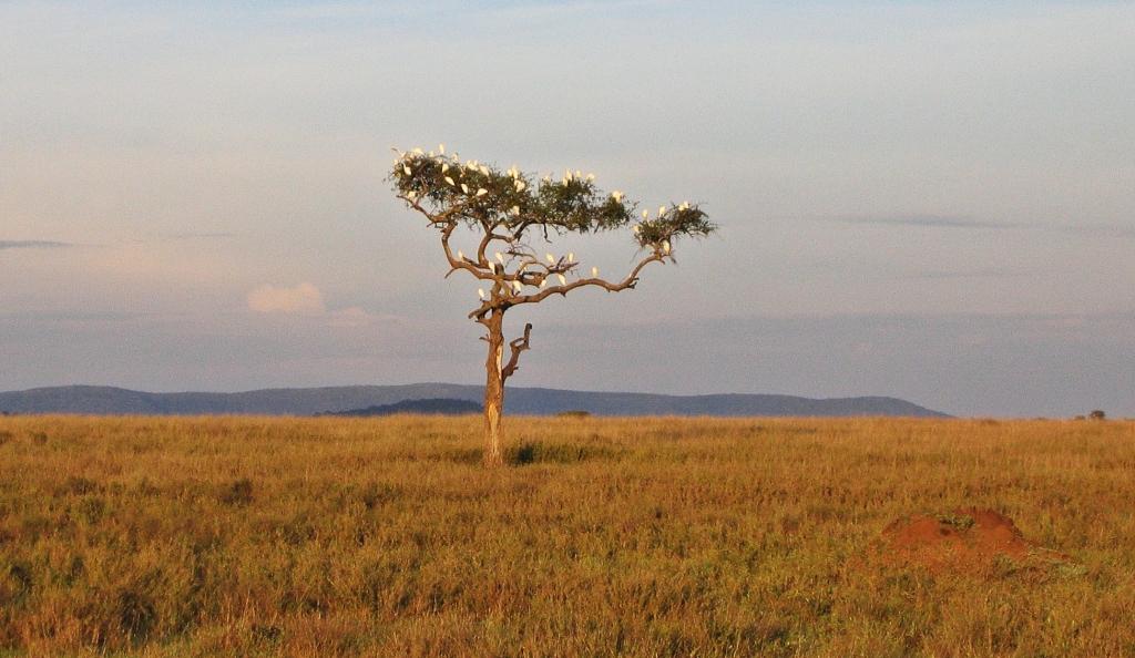 Birds on an acacia tree, Serengeti National Park