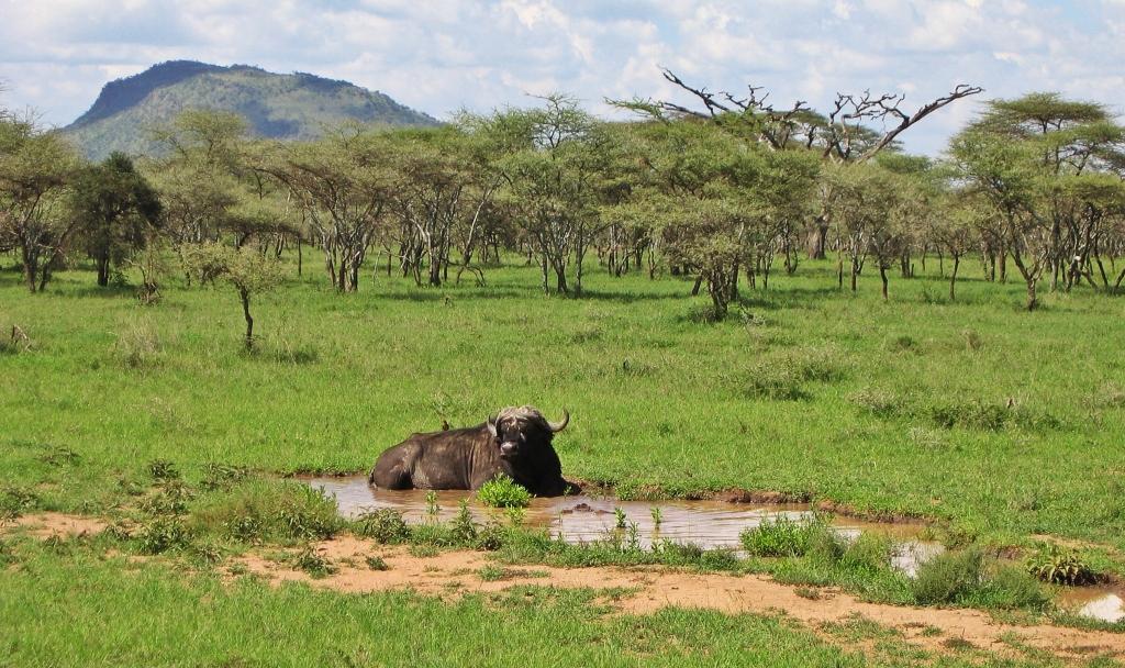 African buffalo, Serengeti