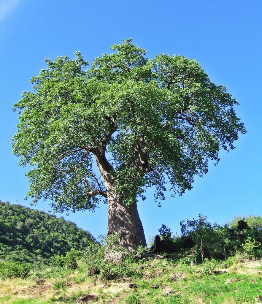 Baobab tree, Serengeti