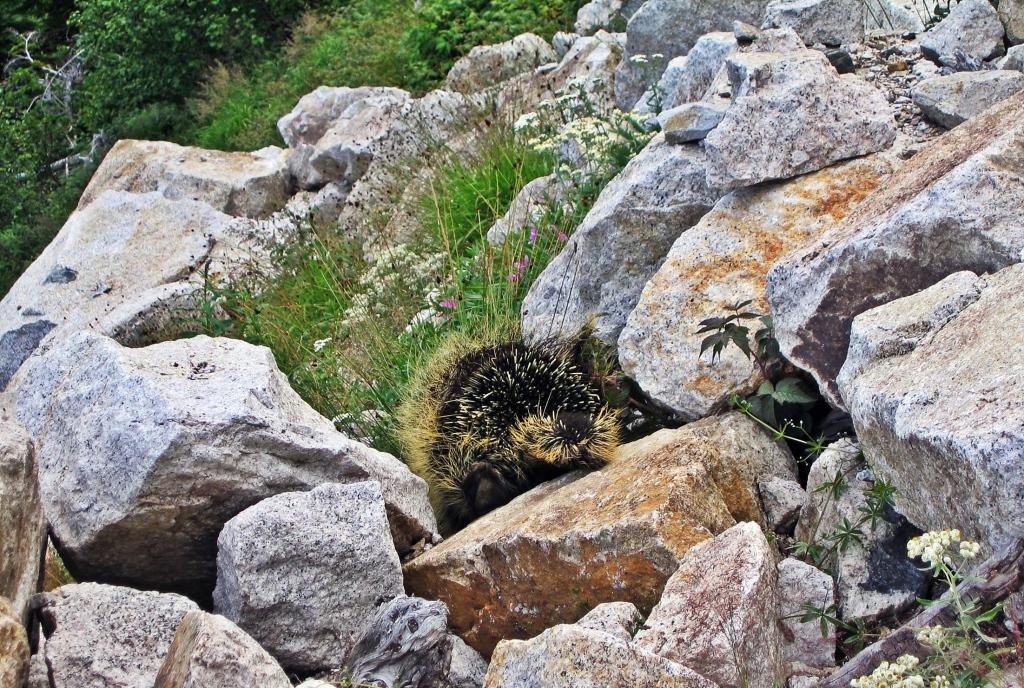 Porcupine, Hike to Conrad Kain Hut, Bugaboos